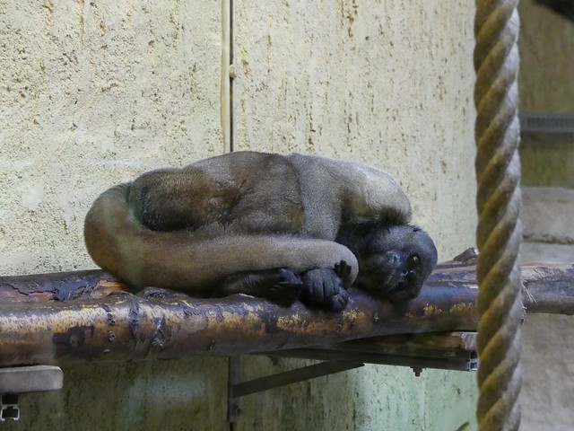 Brauner Wollaffe, Zoo Dresden