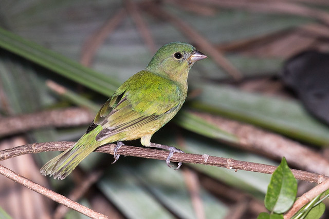 Painted Bunting (female), Palm Beach County, Florida