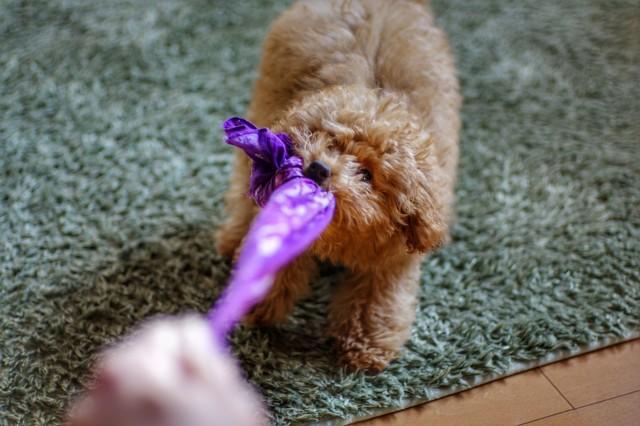 ルールを作った遊び方をする犬