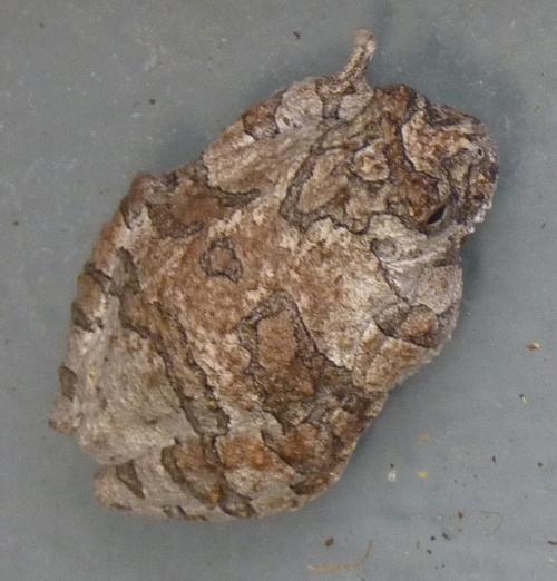 Dendropsophus marmoratus 39160228104_4ff9e9e42f_o
