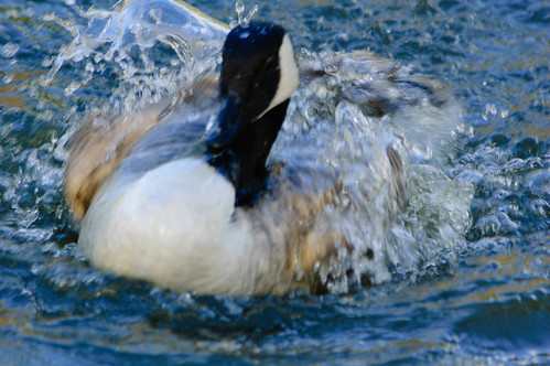 Canada goose bathing vigorously, West Park