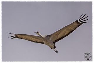 Sandhill crane, Antigone canadensis.