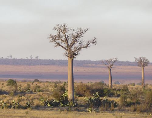 madagascar anakao madagascar2017 plants dilleniidae malvales mallowmalvaceae baobagadansonia flickr toliaraprovince
