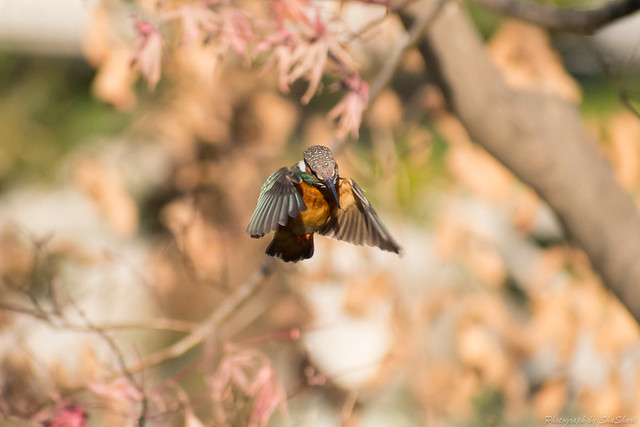 20180129-kingfisher-DSC_6462