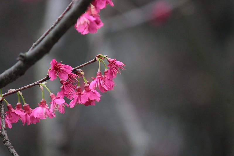 中正紀念堂櫻花開在2018
