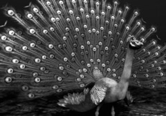 Glamorous Peacock (or The Persistence Of Beauty)