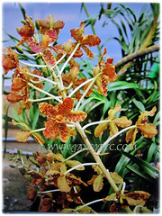 Mesmerising flowers of Grammatophyllum speciosum (Giant Orchid, Tiger Orchid, Sugar Cane Orchid, Queen of the Orchids) on a 2 m tall floral stalk, Feb 27 2018