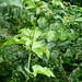 Small photo of Cucurbitaceae (Gurania reticulata)