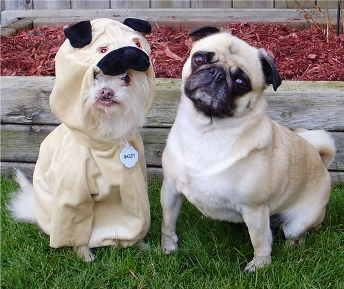 Pug wannabe