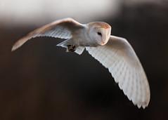 HolderWinter Barn Owl