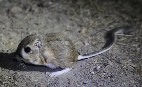 Giant Kangaroo Rat Mammalian Ecology And Conservation Unit