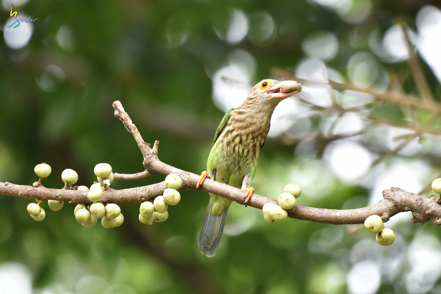 Lineat_Barbet_1823