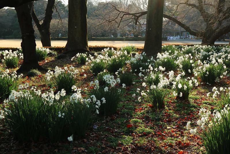 Narcissus papyraceus in Shinjuku Imperial Garden  スイセン ペーパーホワイト