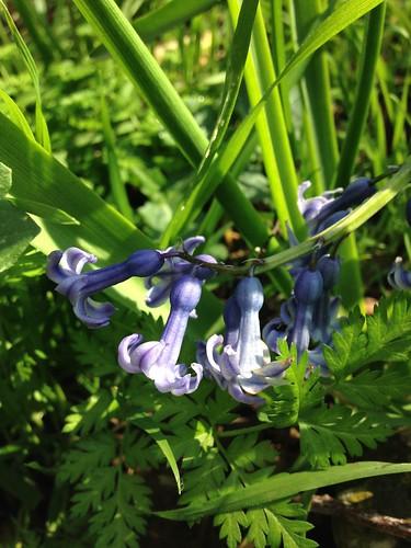 Wild Hyacinth (Hyacinthus orientalis)