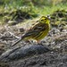 Yellowhammer Watchtree Nature Reserve F00127 D210bob DSC_9672