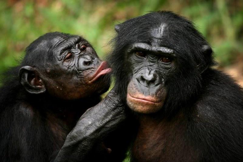 Certains grands primates partagent le même langage corporel que les humains