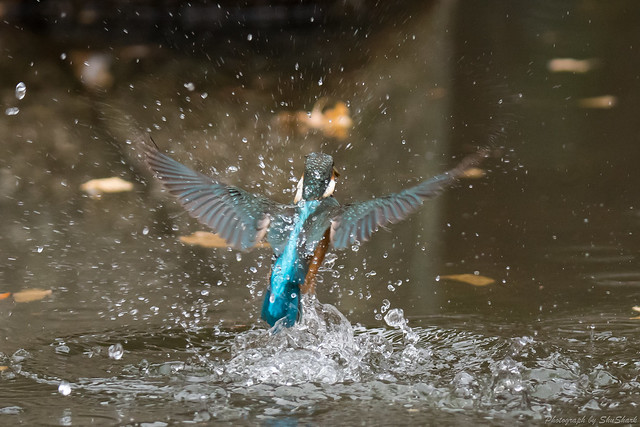 20180108-kingfisher-DSC_3326
