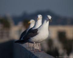 Seagulls (Larus L.californicus)