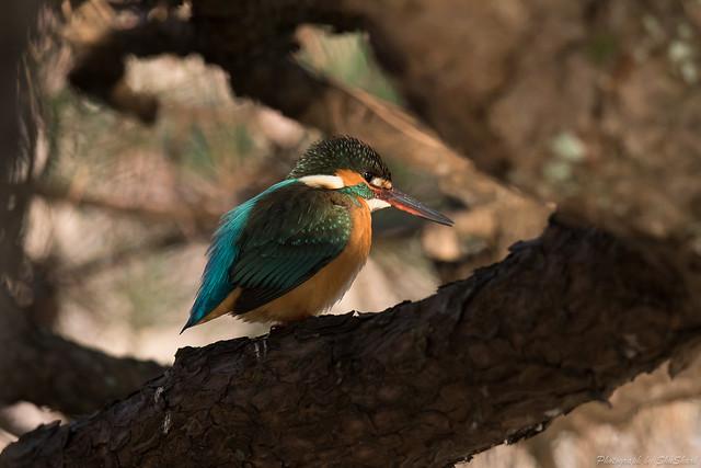 20180211-kingfisher-DSC_8119