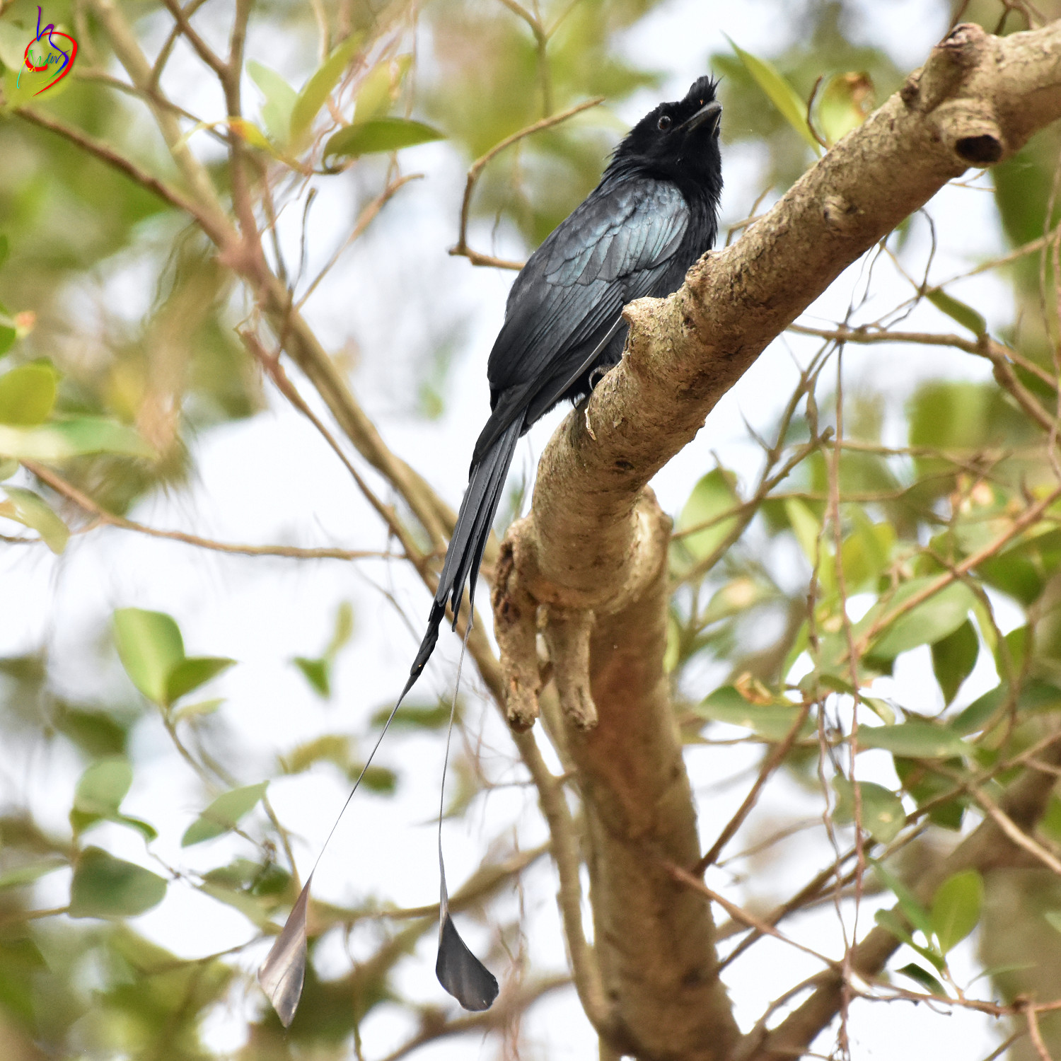 Greater_Racket-tailed_Drongo_3488