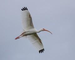 White Ibis Inflight