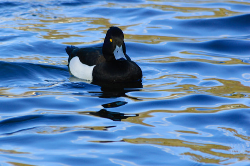 Tufted duck (male) approaching