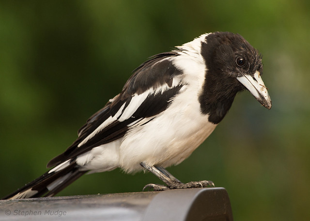 Pied Butcherbird on our deck