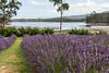 christian_s1 posted a photo:Port Arthur Lavender (Einkehr auf einen Cappuccino)