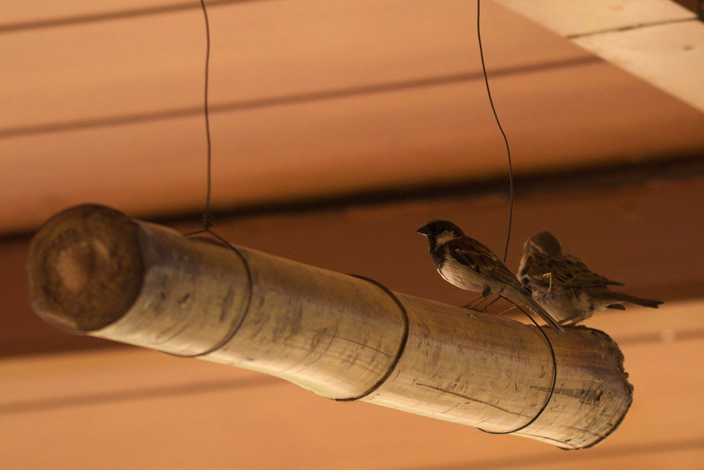 House sparrows!