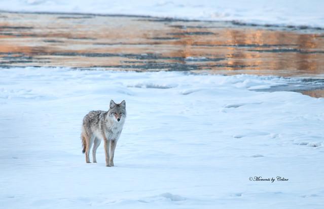 Coyote encounter