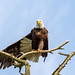 Bald Eagle Winging It by Feiertagraphy