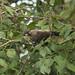 Mico melanurus - Black-tailed Marmoset