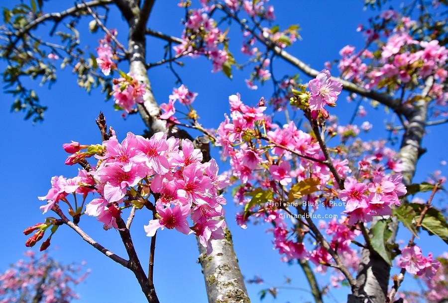 芬園花卉休憩園區-櫻花園區201808