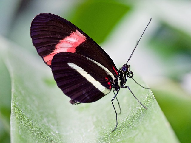 Butterfly II - Berggarten/Hannover