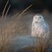 Snowy Owl in Long Island by jgaosb