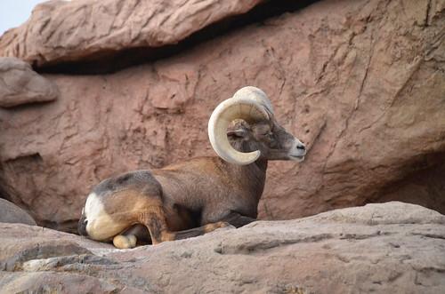 Desert Museum Ram
