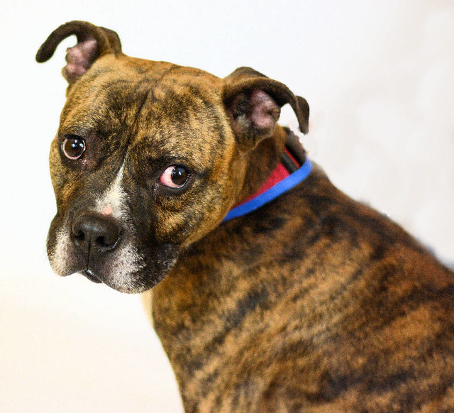Meet Yogi! The Cute Brindle Rescue Looking for a Foster or