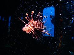 Lionfish, Sea Viking Wreck, Nassau, Bahamas