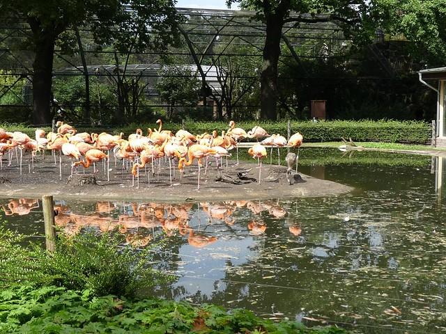 Kuba-Flamingo, Zoo Dresden