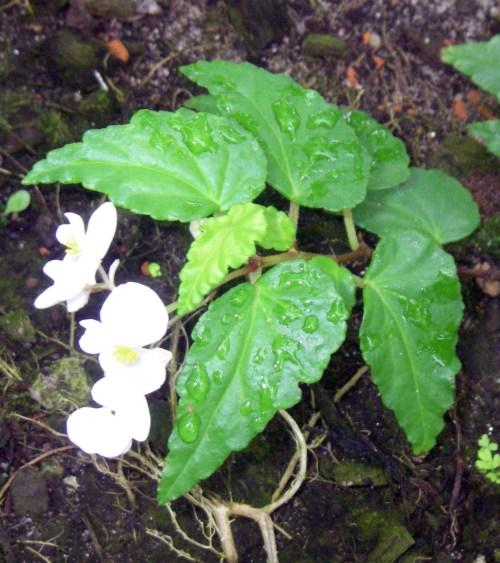 Begonia cubensis 24758139927_4f88f3359e_o