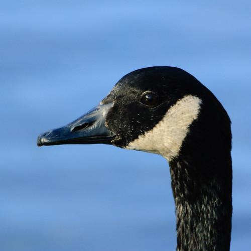 Canada goose, portrait