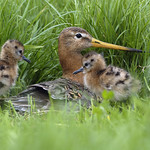 Black Tailed Godwit adult & chicks - Will Meinderts (FLPA)