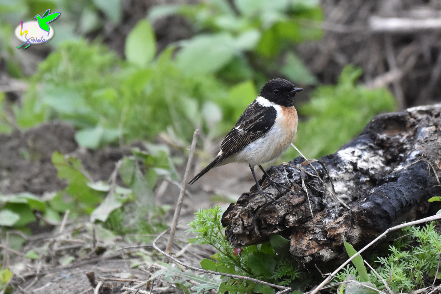Common_Stonechat_9518