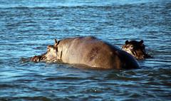 Hippos, Zambezi River, Zambia