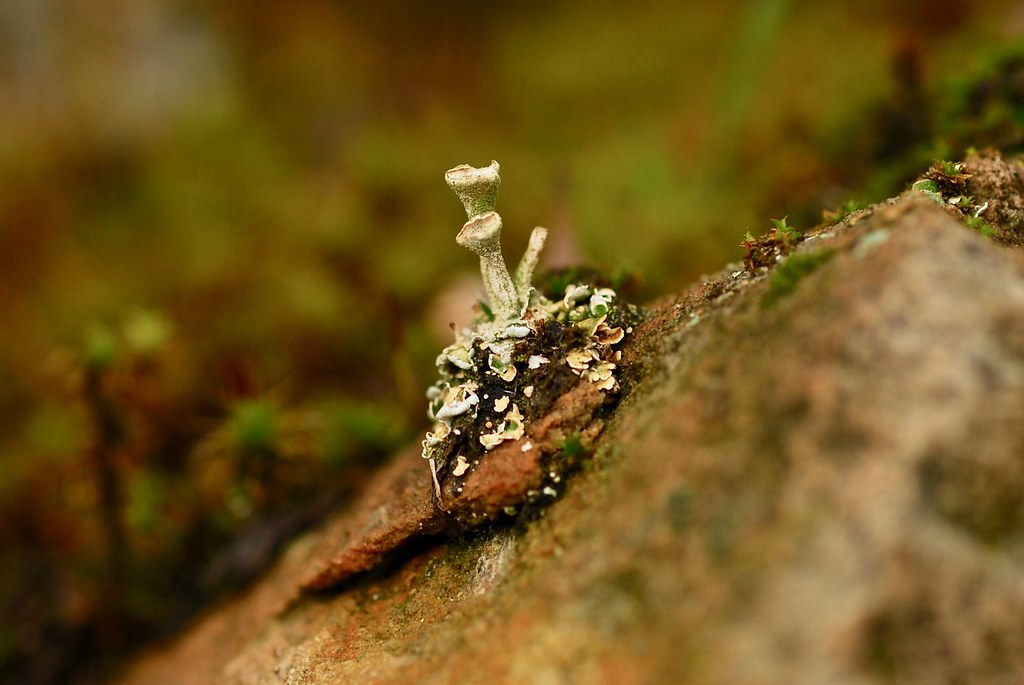 Pixie-cup lichen