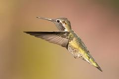 DSC_6652.jpg Anna's Hummingbird, UCSC Arboretum