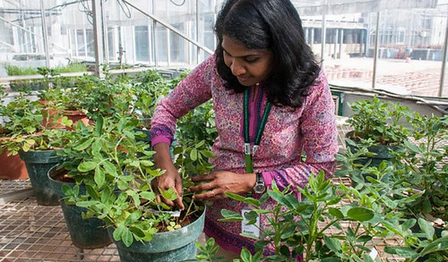 ग्रीनहाउस में विकसित किए गए मूंगफली के नए पौधों के साथ डॉ. जैनीला