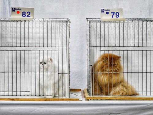 Saintly City Cat Show