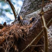 So It Begins Circle of Life Great Horned Owl In Nest