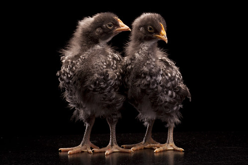 Two Barred Rock pullets